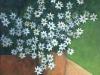 Ma Uyi Marguerites huile et acrylique sur toile 50 x 61 cm